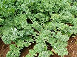 Siberian Kale Seeds, 1000+ Premium Heirloom Seeds, Perfect Addition to Your Home Garden! (Isla's Garden Seeds), Non GMO, Survival Seeds, 90% Germination Rates, Highest Quality, Highest Purity.