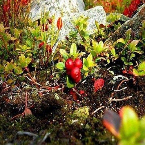 Cranberry Bush Seeds (Vaccinium Macrocarpon) (25) Cranberry Bush