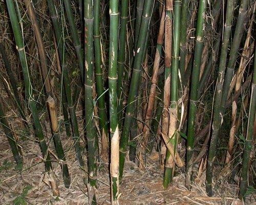 Review Yunnan Bambus 'Fargesia yunnanensis'