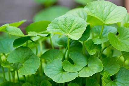 remedio-natural-para-varices-centella-asiatica