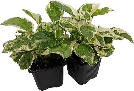 Amazon Com Pearls Jade Pothos Epipremnum Aureum 2 Plants 3