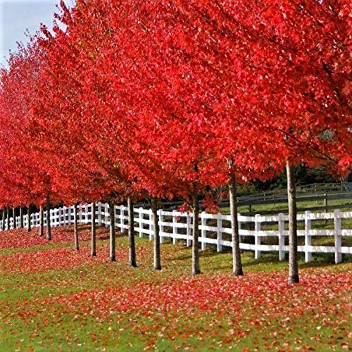 (Autumn Blaze Maple - Brightest red of Any Tree in The Fall! (2 Years Old, 3 to 4 feet Tall.))
