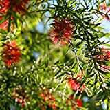 BOTTLEBRUSH TREE - Callistemon rigidus Live Hummingbird Feeder Plant Red flowers