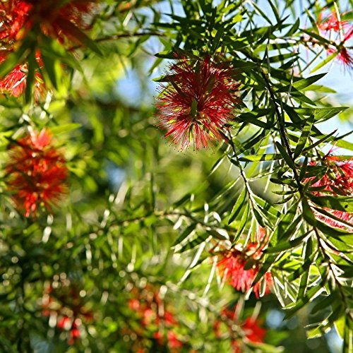 BOTTLEBRUSH TREE - Callistemon rigidus Live Hummingbird Feeder Plant Red flowers by Wellspring Gardens