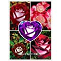 Free Shipping 200pcs/Lot Rare Osiria Rose Seeds,Chinese Rose Flower Seeds.Lover Birthday Gift.Rosa Semillas de Flores (S003)