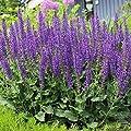Plentree 30 Seeds May Night Blue Salvia Meadow Sage Organic Ornamental Perennial +Gift