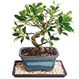 Brussel's Golden Gate Ficus Bonsai - Small (Indoor) with Humidity Tray & Deco Rock