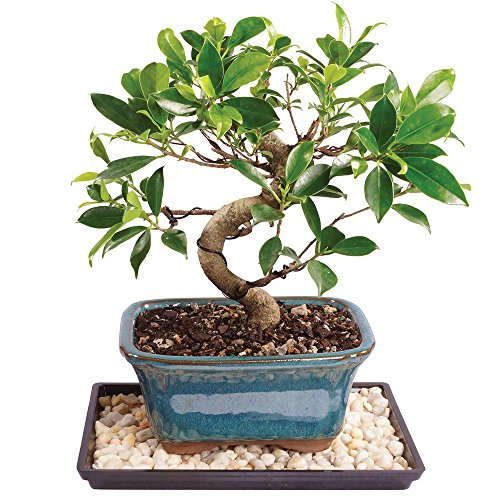 Brussel's Golden Gate Ficus Bonsai - Small (Indoor) with Humidity Tray & Deco Rock by Brussel's Bonsai