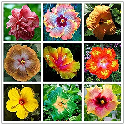 Bio Garden - Rare 20pcs Hibiscus syriacus Flower Seeds Easy to Grow, Exotic Flower Seeds Hardy Perennial Garden : Garden & Outdoor