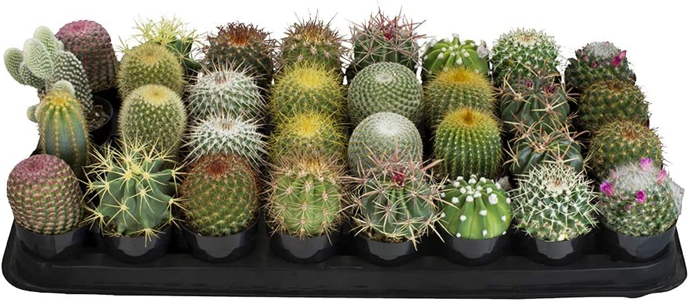 Altman Plants Assorted Cactus Tray 2 5 32 Pack For Diy Succulent Gardens Or Containers Or Gifts Amazon Ca Patio Lawn Garden