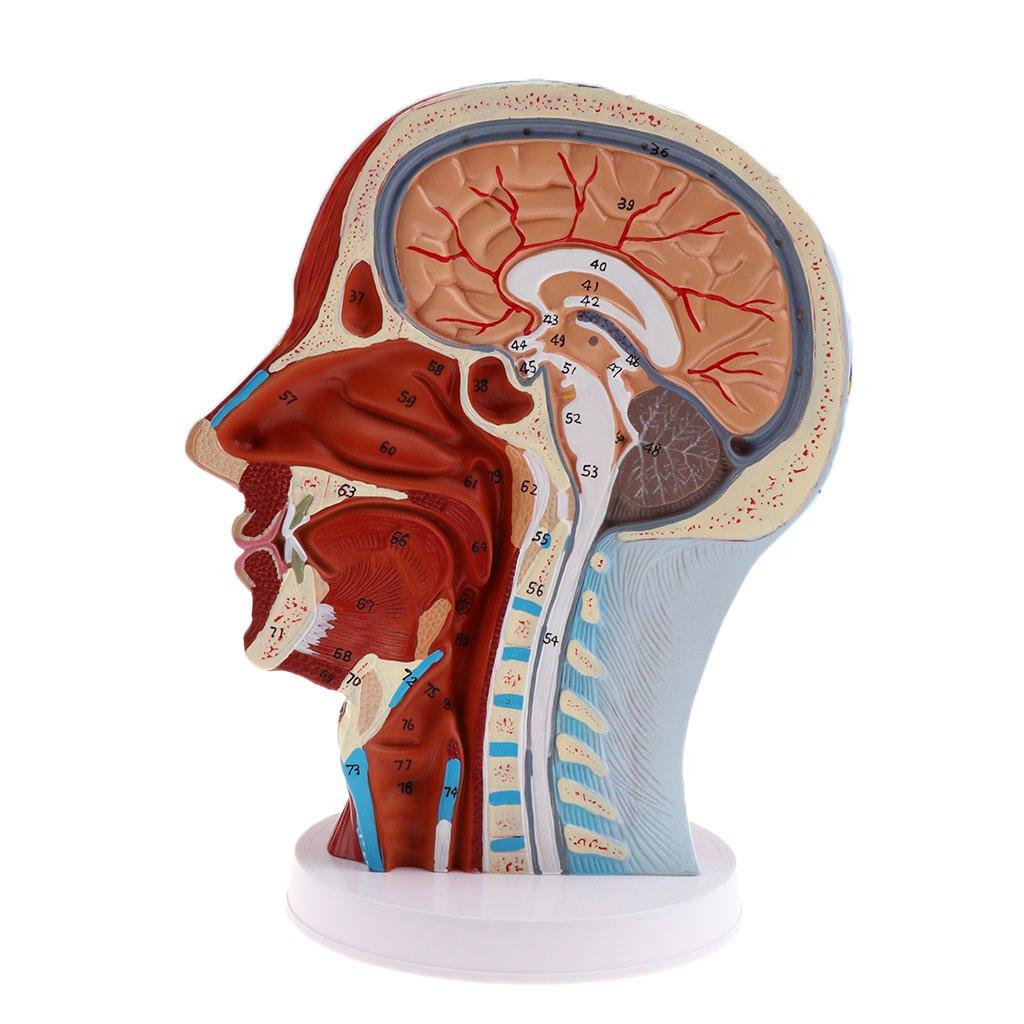 Sharplace 3D-Realistische Anatomische Menschliche Gehirnmodell Hand ...