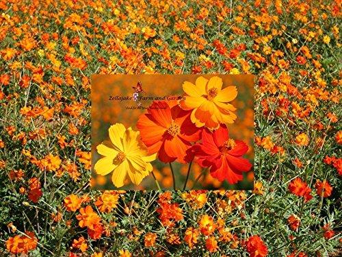 Sulphur Cosmos Mix Seeds 125 thru 1 LB Bright Orange Yellow Wildflowers #238 (2) by nk_zel