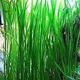 Jungle Vallisneria Rooted Plants 1.5-2 Feet Tall - Easy Background Aquarium Plants