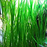 Jungle Vallisneria Rooted Plants 1.5-2 Feet Tall - Easy Background Aquarium Plants