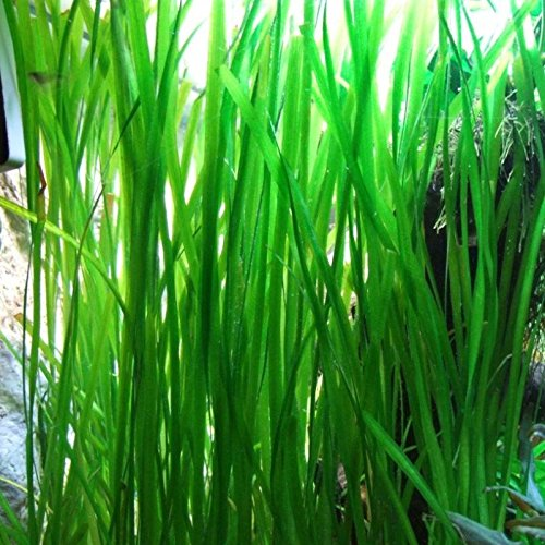 Jungle Vallisneria Rooted Plants 1.5-2 Feet Tall - Easy Background Aquarium...