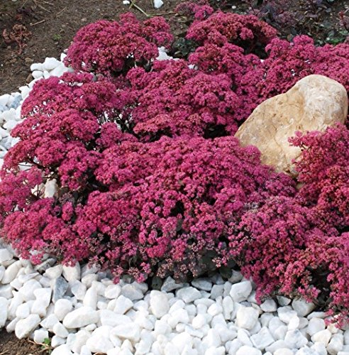 Sedum Dragon's blood 100 seeds