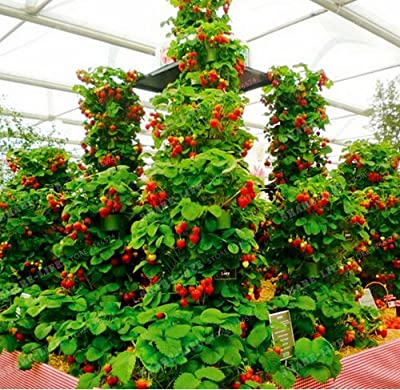 New Red giant Climbing Strawberry 500+ Seeds