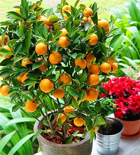 Potted Fruit Plants - Kasuki Big Sale!10 pcs Bonsai Orange Plants NO-GMO Mini Bonsai Tree Balcony Patio Potted Fruit Trees Kumquat Garden Tangerine Citrus,#