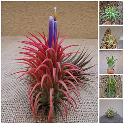 CTS Air Plants 5 Pack Assorted Tillandsia Ionantha Air Plants