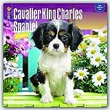 Cavalier King Charles Spaniel Puppies 2017 Square