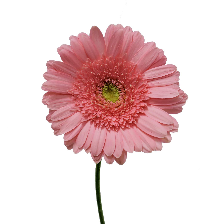 Pink Gerberas - 50 Stems by Bloomingmore