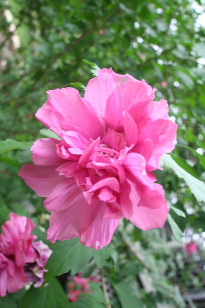 ROSA OSCURO DOBLE rosa de Siria Hibiscus syriacus árbol de la flor de Bush 5 Semillas