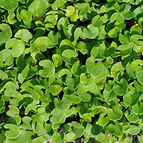- Outsidepride Dichondra Repens Lawn Seed - 2 LB