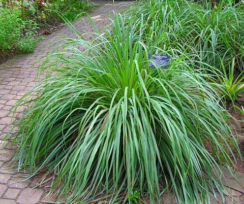Cinderella grass