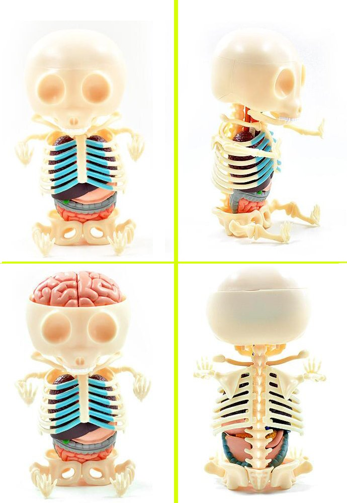 Amazon.com: Gummi Bear Skeleton Anatomy Model Kit for Biological ...
