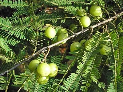 Phyllanthus emblica Indian gooseberry 10 seeds