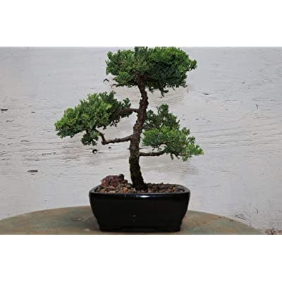 Juniper Bonsai Tree: Garden & Outdoor