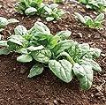 David's Garden Seeds Spinach Acadia HD1209 (Green) 500 Non-GMO, Organic, Hybrid Seeds