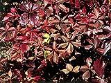 New Parthenocissus Quinquefolia - Virginia Creeper , FAST GROWING VINE , 10 + Seeds !