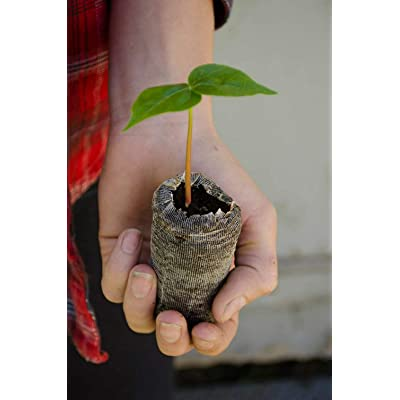 "AchmadAnam - Live Plant 3 Silk Floss Trees Starter Plants Small Ceiba Speciosa 2"" - 4"" inches : Garden & Outdoor"