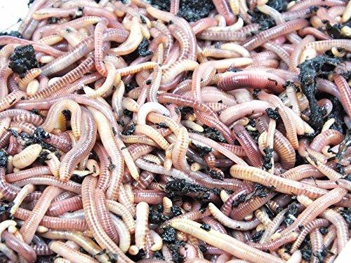 Wurm Caja de gusano Box - Baúl de madera - para cocina, balcón y jardín - Incluye Compost gusanos & Accesorios: Amazon.es: Jardín