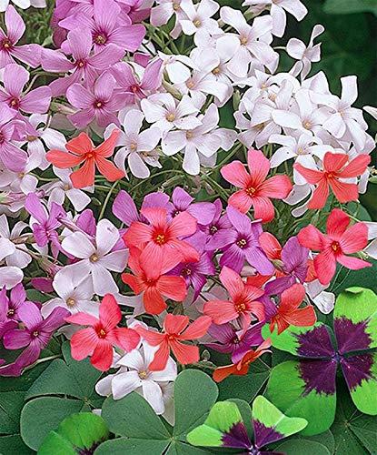 Indian Meadows Oxalis Flower Bulbs Mix Packs Of 20 Pcs
