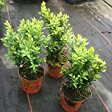 Pack of 30 Buxus Sempervirens Box Hedging Buxus Sempervirens Box Hedging Approximately 20cm Tall - Evergreen Hedge Plants