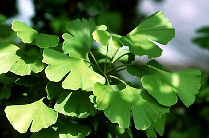 5 Fresh Seeds Maidenhair Fossil Tree Gingko Biloba Green to Yellow Plants RK