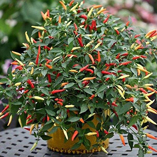 Pepper Hybrid Hot (Firecracker (Indian Hybrid) Hot Pepper Seeds - immense crop of long, thin chilli(10 - Seeds))