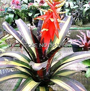 100 / bolsa de bromelias mezclado de los gérmenes plantas de color para el jardín de cactus Cultivo de piña bonsai plantador semillas agrícolas tropicales ...