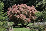 """Grace Smokebush - Cotinus - Orange - Red Fall Color! - 4"""" Pot"""
