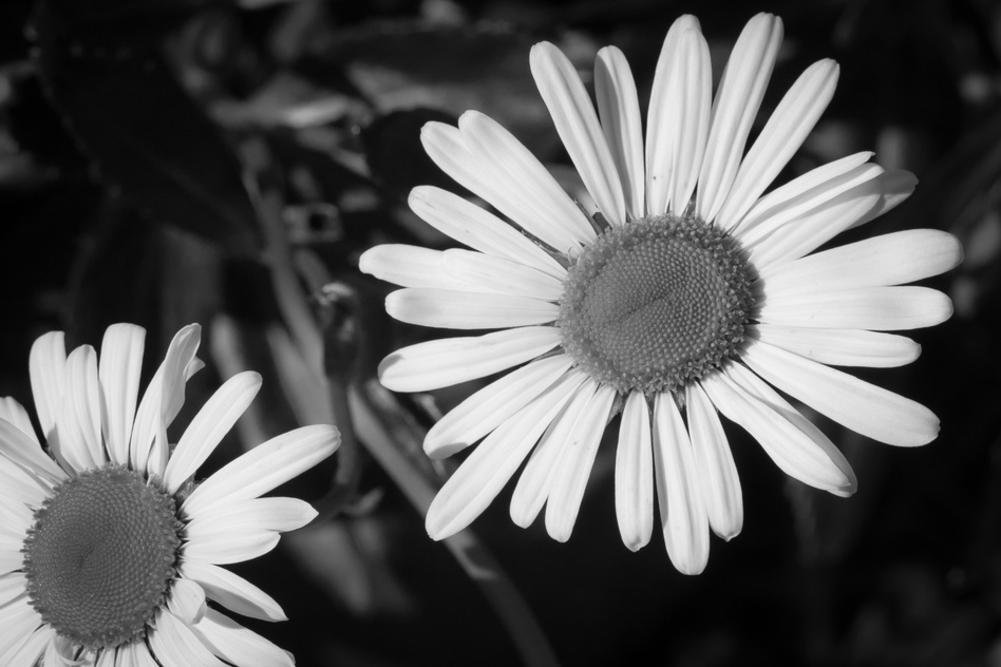 Daisy Flower Black White Photo 24 x 36in by  (Image #1)