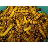 1000ct Live Superworms, Feed Reptile, Birds, Fishing Best Bait