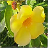 CafePress - Yellow Mandevilla - Tile Coaster, Drink Coaster, Small Trivet
