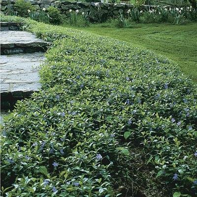 Classy Groundcovers - Periwinkle 'Traditional' Common/Creeping Periwinkle/Myrtle, Creeping Myrtle {50 Bare Root Plants} by Classy Groundcovers (Image #3)