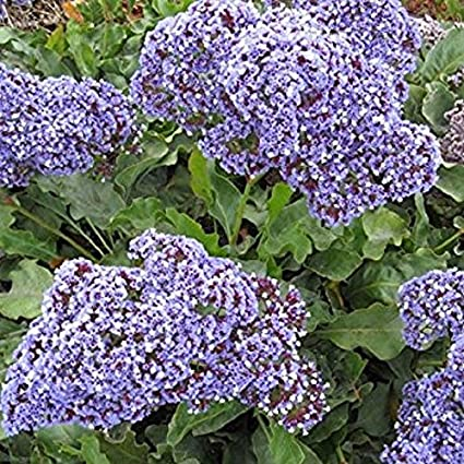 Amazon purple attraction statice flower seeds limonium purple attraction statice flower seeds limonium annual sea lavender 60 mightylinksfo