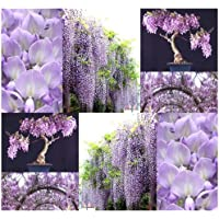 10 x Purple Wisteria - Wisteria Sinensis - Chinese Blue Purple Wisteria Bonsai Tree Seed - Fragrant PURPLE FLOWERS - USDA Hardy Zone 3-9 - By MySeeds.Co