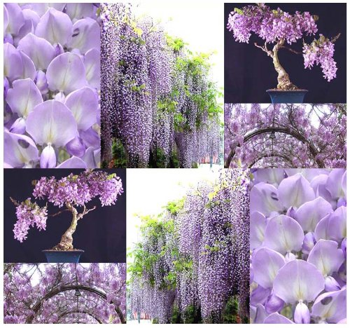 10 x Purple Wisteria - Wisteria Sinensis - Chinese Blue Purple Wisteria Bonsai Tree Seed - Fragrant PURPLE FLOWERS - USDA Hardy Zone 3-9 - By MySeeds.Co ()