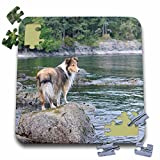 Danita Delimont - Canada - British Columbia, Portland Island. Sheltie on rocks at Arbutus Point - 10x10 Inch Puzzle (pzl_226866_2) offers