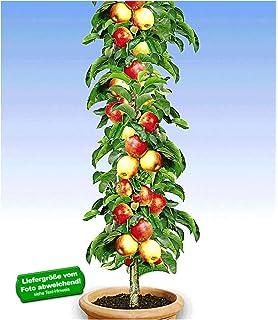 Berühmt BALDUR-Garten Säulen-Pflaumen 'Black Amber', 1 Pflanze, Prunus @HR_86
